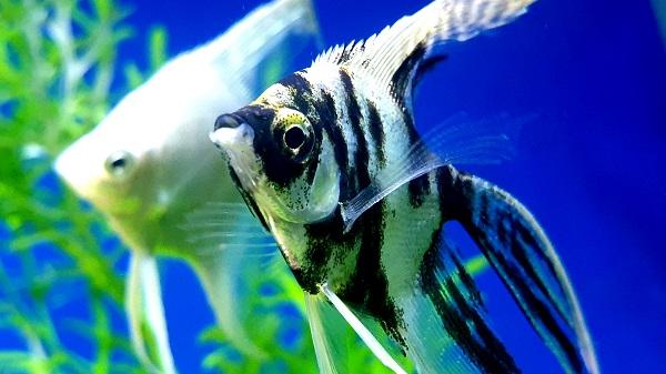 Is it safe to move fish eggs to separate aquarium?