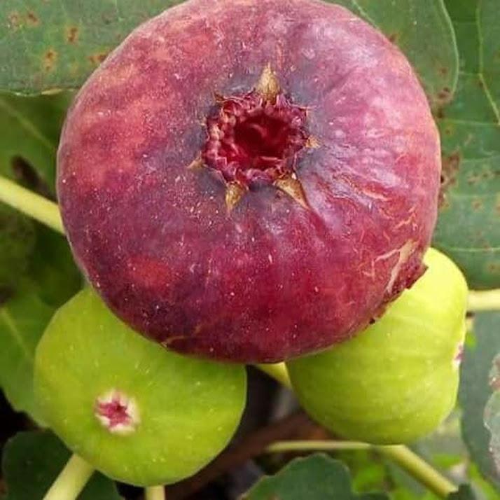 Bibit tanama buah Tin Ara jenis Red palestin Red israel khutmani Banjarbaru