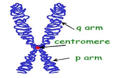 chromosome - كروموسوم