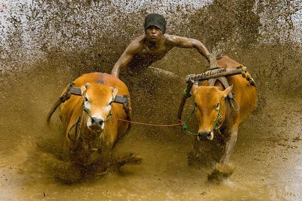Karapan Sapi, from Bull Race to Bloody Race