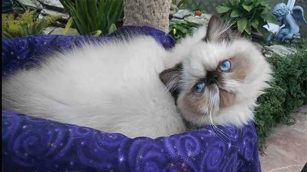 Himalayan/ Colorpoint Persian Cat Breed Information