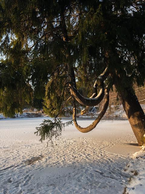 сосна качели кривые ветки скамья над озером Игорь Новик фото