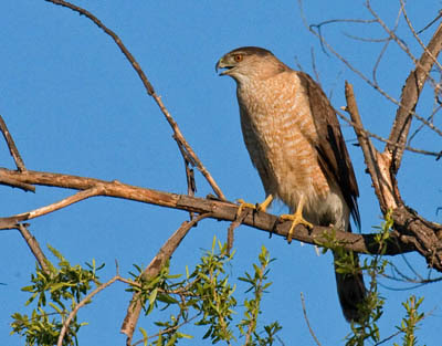 Photo of a Cooper's Hawk in a tree