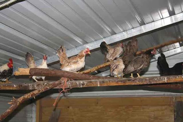Chicken farming