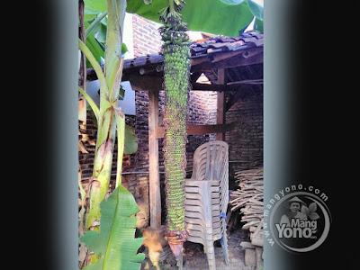 FOTO 1 :   Hebohh  ... Di Pagaden Ada Pisang Berbuah Seribu,   Panjang Dua Meter Lebih..