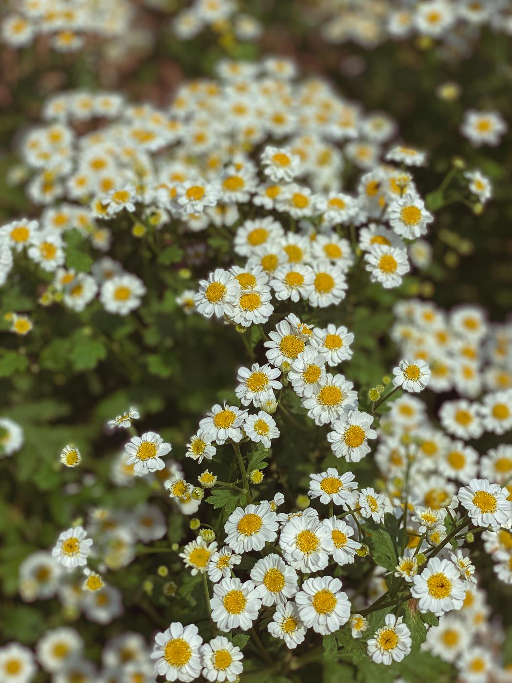 feverfew, summer garden flowers, blooming flowers, summer flowers that bloom