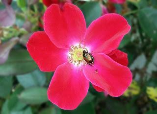 Japanese beetle on roses