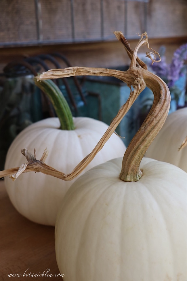 twisted-stem-white-pumpkins