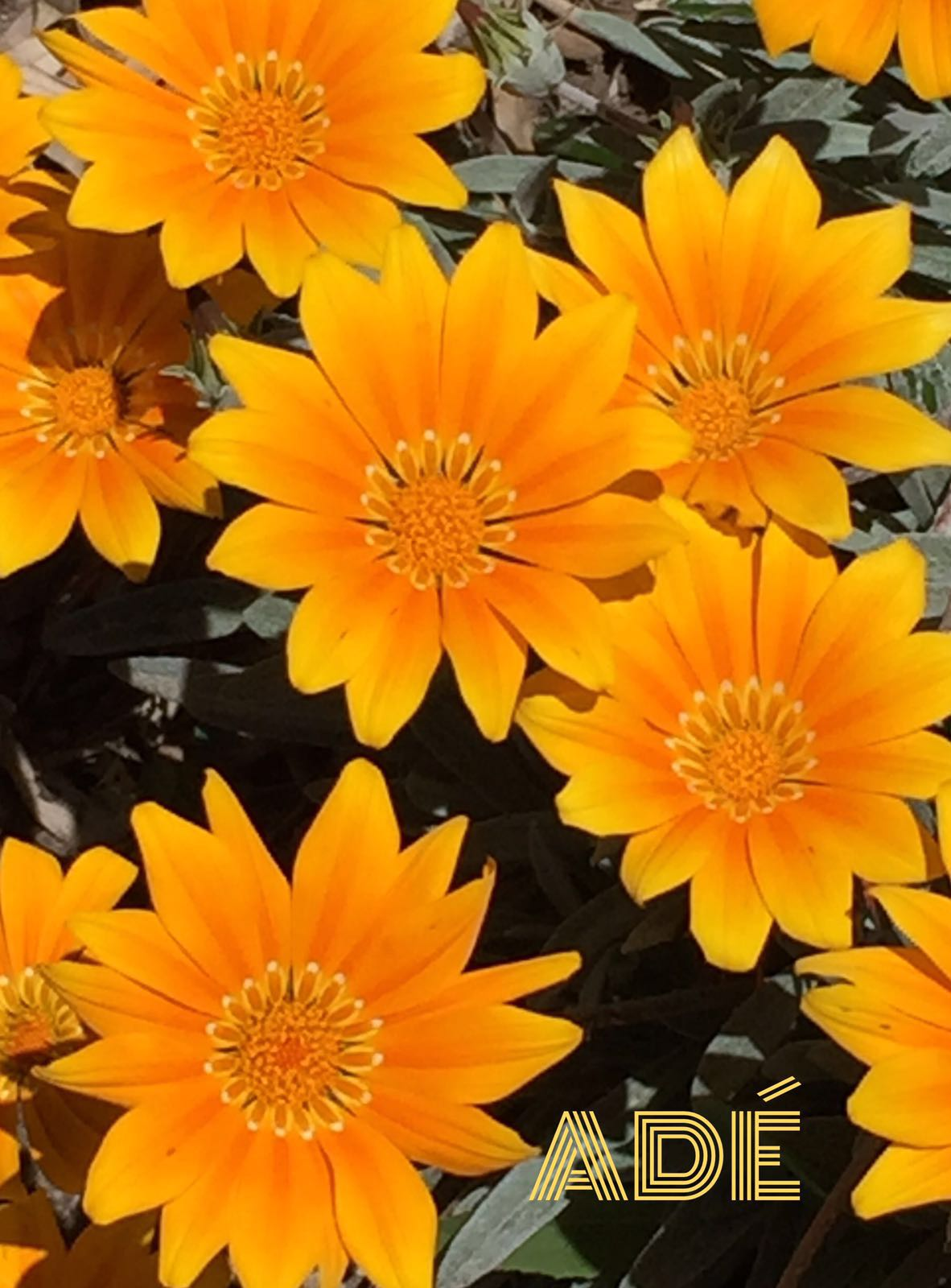 pinnapena: la fleur de la semaine