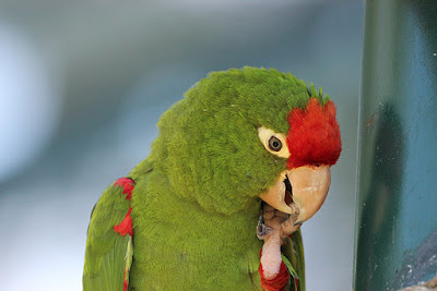 Aratinga de Wagler (Psittacara wagleri)