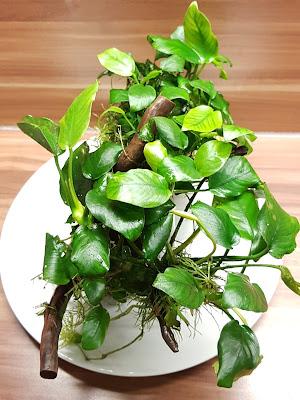 Anubia Pflanze in 4100 Ottensheim abzugeben