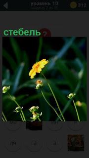 на стебле растут несколько желтых цветочков, похожих на ромашку