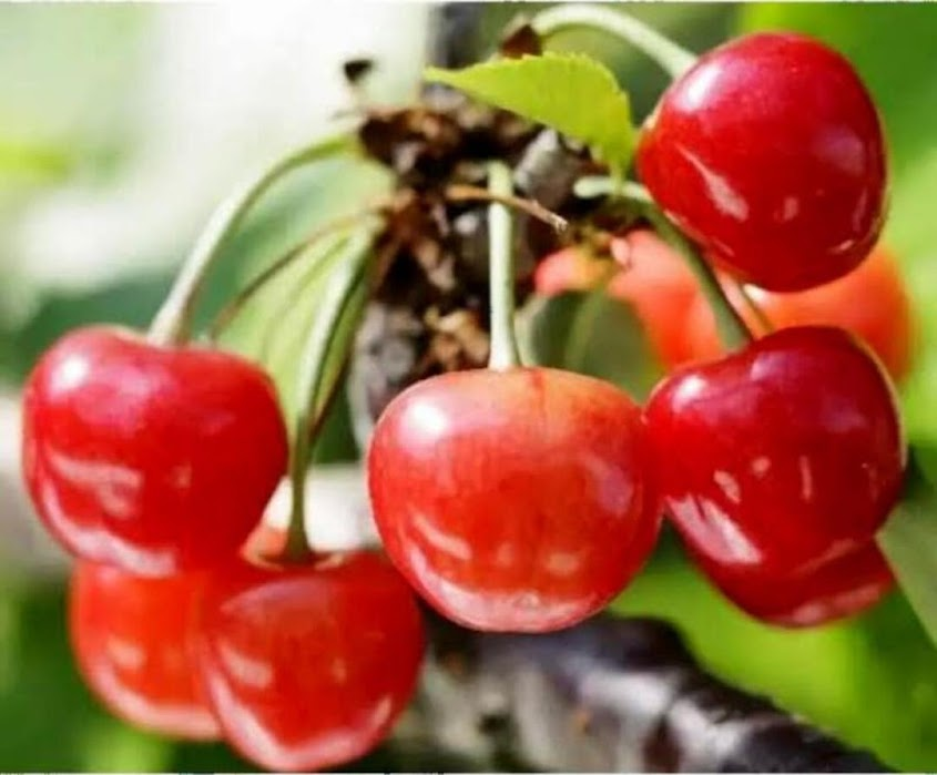 Tanaman Buah Ceri Jepang Japanese Cherry Berbuah Banjar