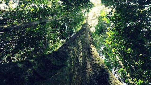 Pohon merbau si kayu besi dari Irian jaya dan Papua