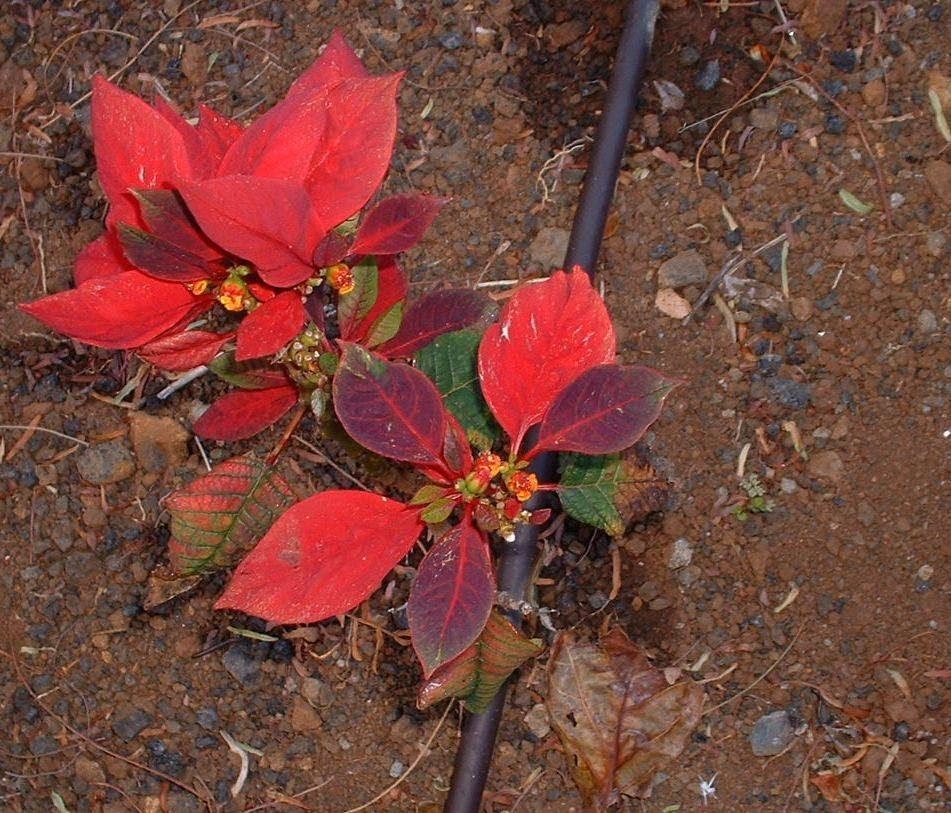 oleander poinsettia euphorbia pulcherrima weihnachtsstern entwicklung der blattf rbung. Black Bedroom Furniture Sets. Home Design Ideas