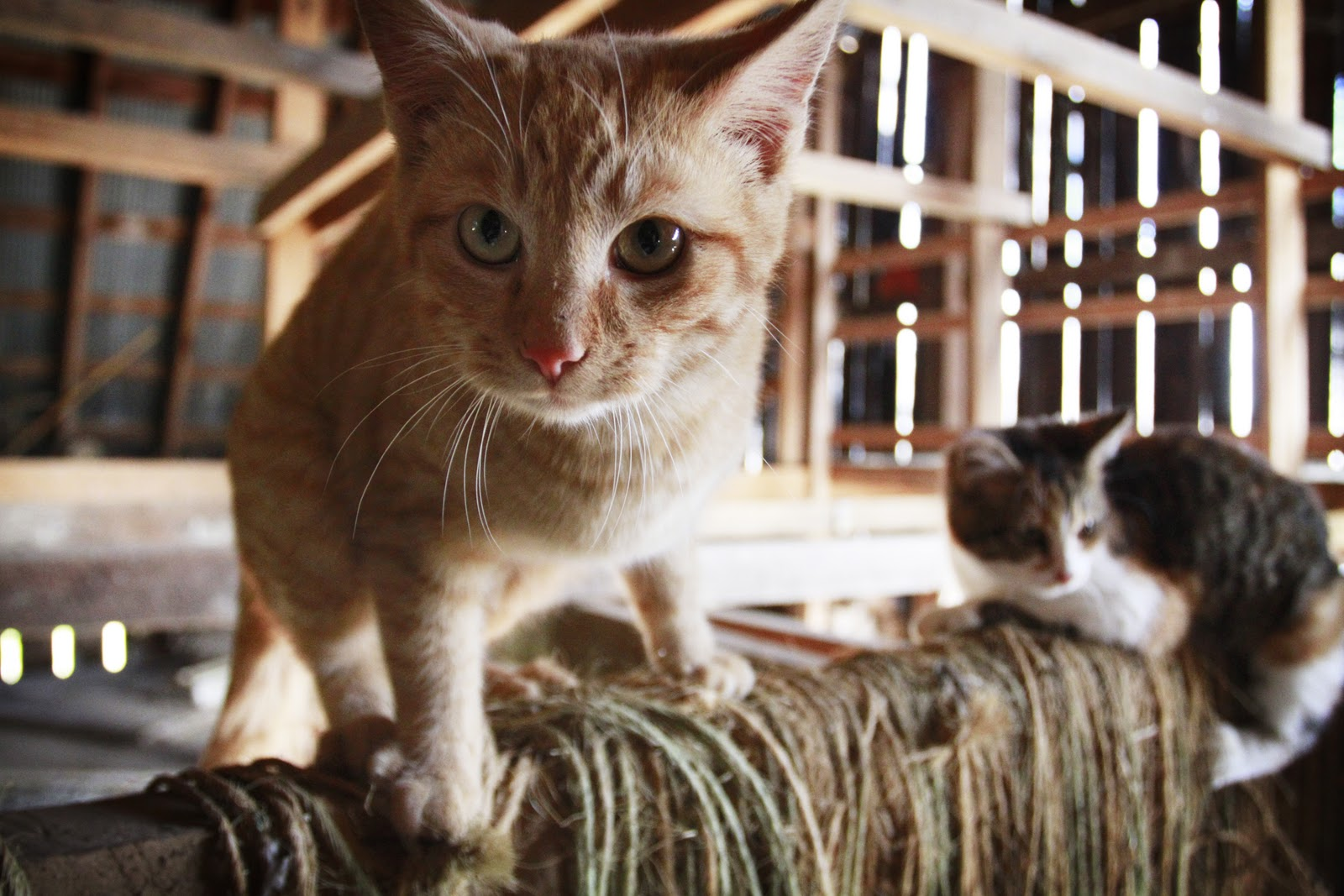 Friends of Powell County's Pets: Barn Kitties to the Rescue!