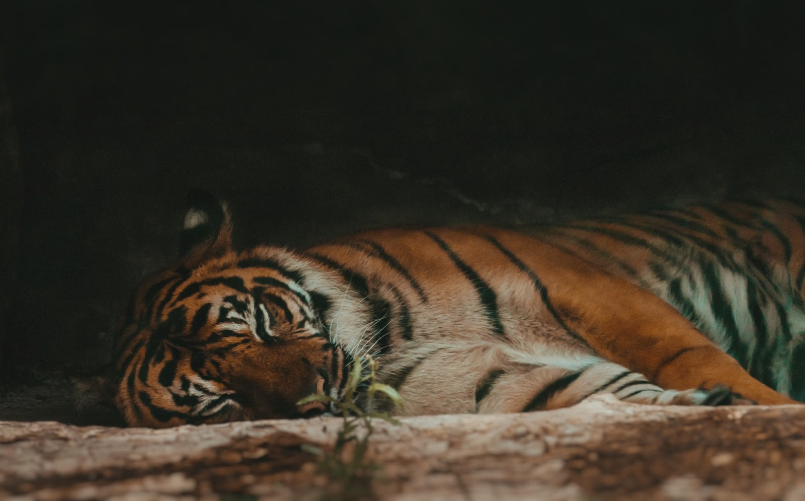 tiger-sleeping-and-taking-rest-pictures