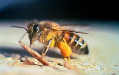 У Каліфорнії через рій 40 тис бджіл-вбивць закрили вулицю