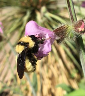 A native bumble bee visits a non-native plant