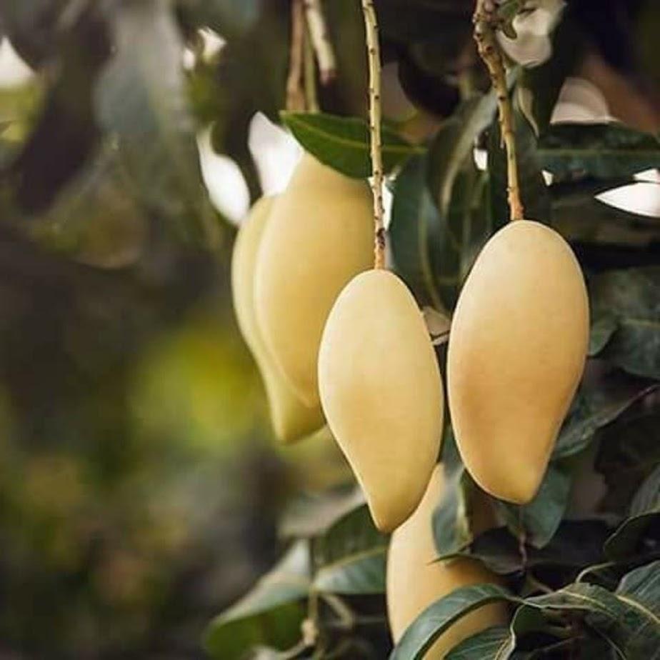 Bibit Buah mangga golden superr manis cepat berbuah lebat Sumatra Barat