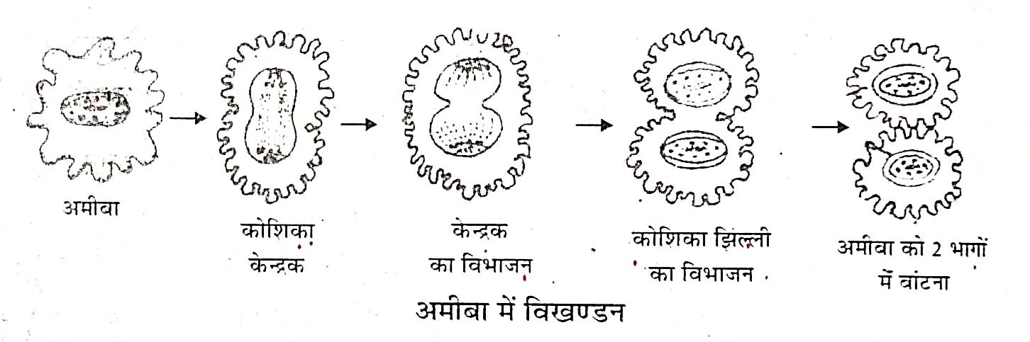 अमीबा ( Amoeba ) : अमीबा में , कोशिका में पाया जाने वाला केन्द्रक लम्बा होकर बीच से दो भागों में बँट जाता है । केन्द्रक के विभाजन के पश्चात् कोशिका कला ( Cell membrane ) अन्दर की ओर सकर , दो भागों में बँट जाती है । इस विभाजन के साथ कोशिका द्रव्य भी विभाजित हो जाता है । पैतृक अमीबा का दो सन्तति अमीबा में निर्माण होता है प्रत्येक सन्तति अमीबा स्वतंत्र होकर अपना जीवन व्यतीत करता है ।