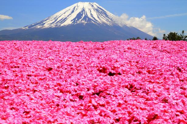 mùa hoa chi anh