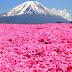 Khám phá mùa hoa Chi Anh, Nhật Bản