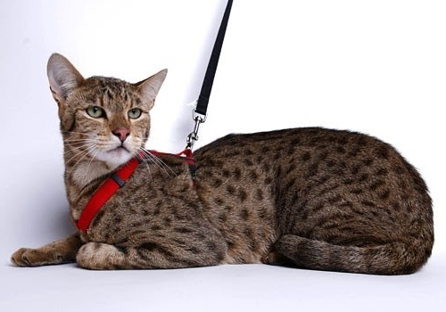 Top 5 Most Expensive Cat Breeds in the World