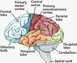 Pengertian Otak Manusia