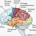 Pengertian Dan Fungsi Otak Manusia