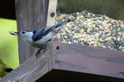 Photo of White-breasted Nuthatch at bird feeder