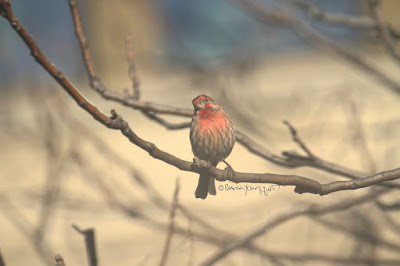 "This photo features a male house finch perched on the branches of an Ailanthus tree. A web-page re this bird describes this bird type by saying, "" House Finch males are more orangey-red with color equally bright on crown, throat, and breast. Red color is mostly restricted to head and upper chest, contrasting with cold gray-brown nape, back, and wings. Pale sides show distinct brown streaks, lacking red tones. Females lack bold face pattern and have more diffuse patterning overall. Often sings loudly in neighborhoods and visits feeders."" House finches have a backstory in volume one of my book series, ""Words In Our Beak,"" where I describe how they were nearly wiped off the Eastern seaboard due to issues with their eyesight. Info re my books is in another post on my blog @  https://www.thelastleafgardener.com/2018/10/one-sheet-book-series-info.html"