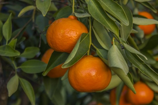 Tangerines on the tree in California