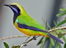 Cara Ternak Burung Cucak Cungkok Untuk Hasil Yang Maksimal