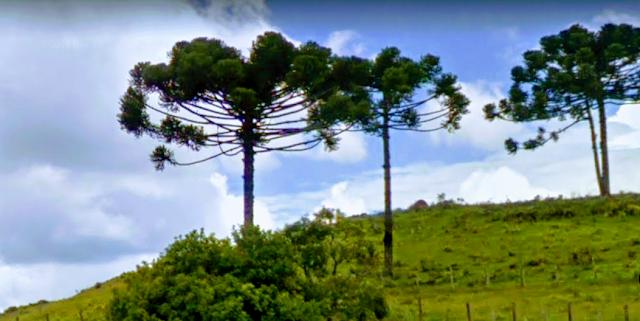 """A ciência faz a classificação genérica das sementes em várias espécies de """"pinaceaes"""" e """"araucariácea"""", plantas """"gimnospérmicas"""". Entretanto, os brasileiros que moram nestas regiões onde existe a Araucária nativa """"angustifólia"""" nomeiam popularmente esta semente de pinhão. Importante ressaltar o valor cultural, culinária, econômico e ambiental para estas regiões brasileira."""