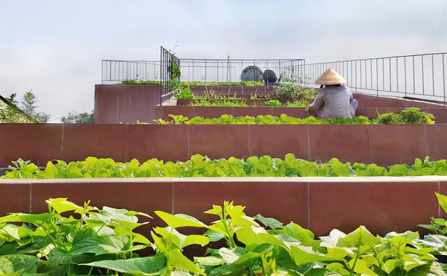 chăm sóc vườn rau trên mái nhà bậc thang