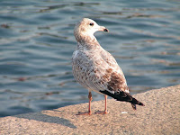 Ring-billed Gull, juvenile – Kingston, ON – Sept. 2006 – photo by Diane Krauss
