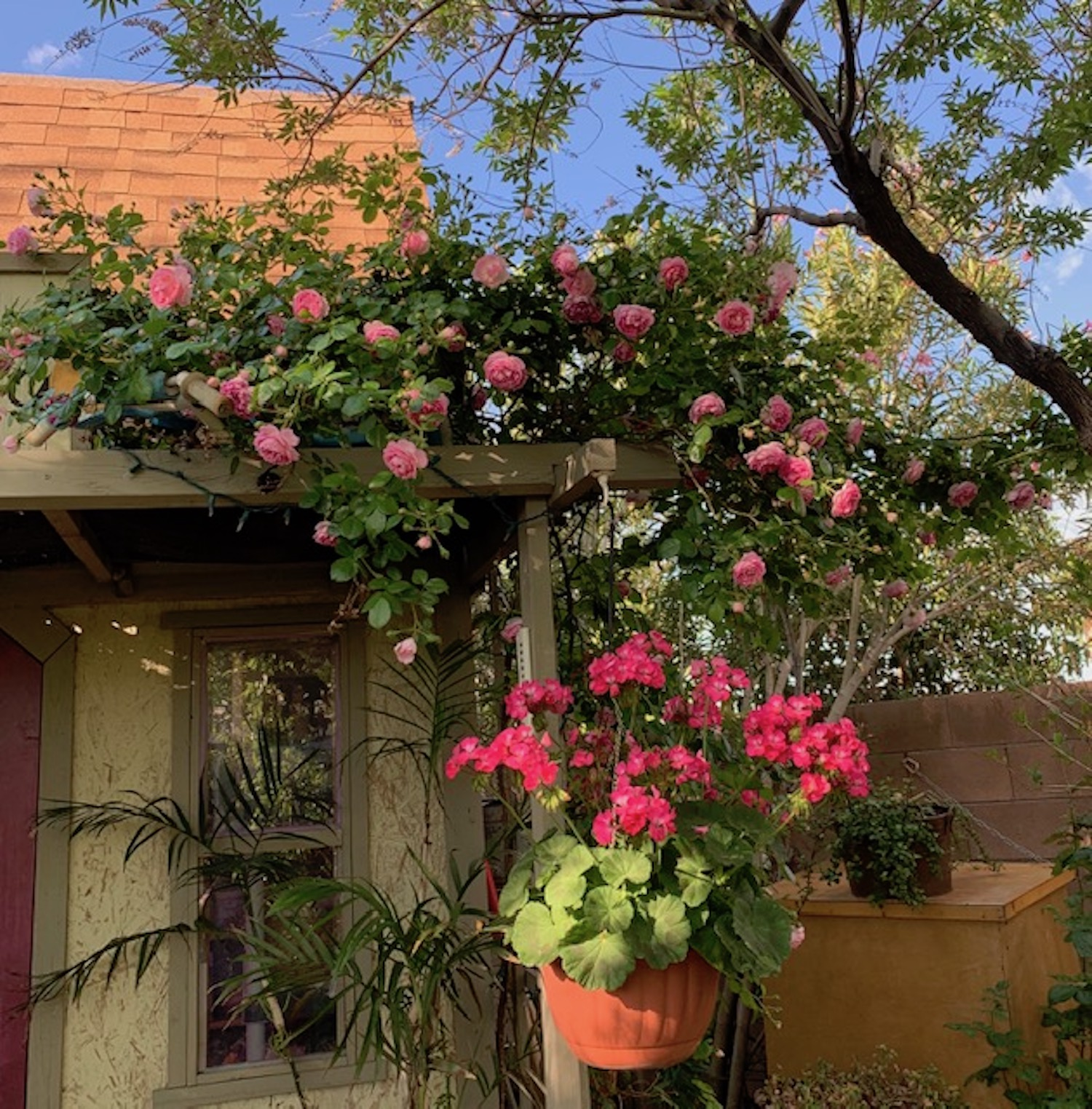 My Enchanting Cottage Garden Climbing Roses For The Desert