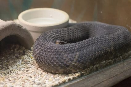 Confusion as Village Head's wife finds a man's underground room holding a large snake that he feeds with porridge.