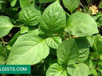 Sagaa health benefits