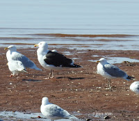Great black-backed gull with Herring gulls,  PEI, Canada, © Marie Smith