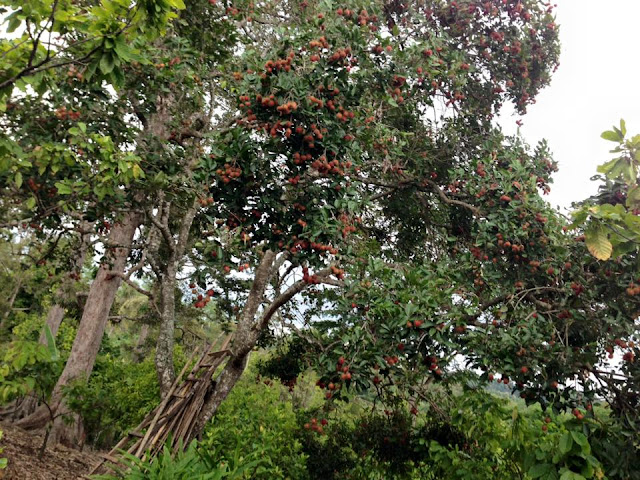 jajaran pohon rambutan di kebun rambutan
