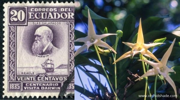 People are so interested in Darwin's Orchids