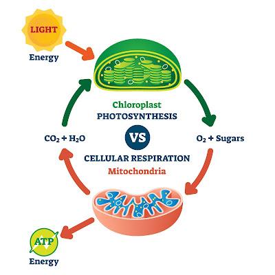 Cellular respiration and cellular respiration