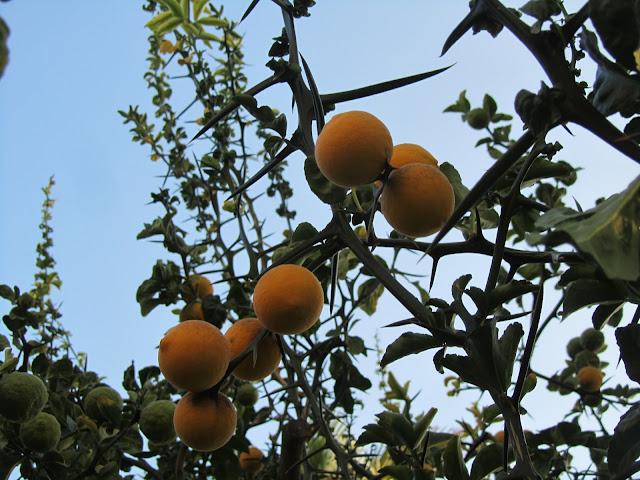 Rami, Spine e Frutti Arancio Trifogliato