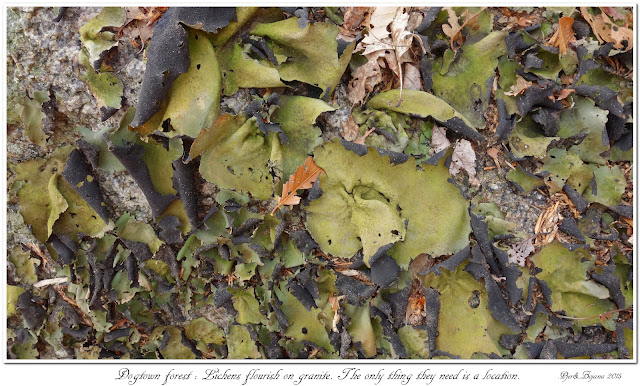 Dogtown forest: Lichens flourish on granite. The only thing they need is a location.