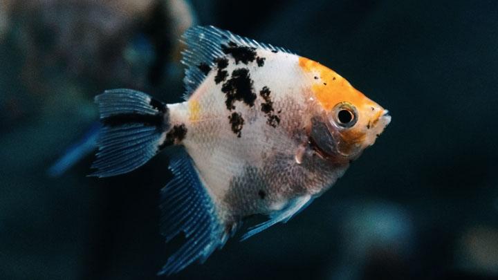 habitat of a multicolor angelfish