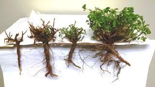 winter-injured-alfalfa