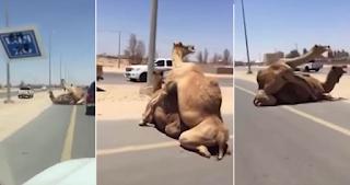 Καμήλες το έκαναν στη μέση του δρόμου και άφησαν άφωνους τους οδηγούς.