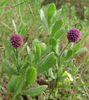 East Indian Thistle